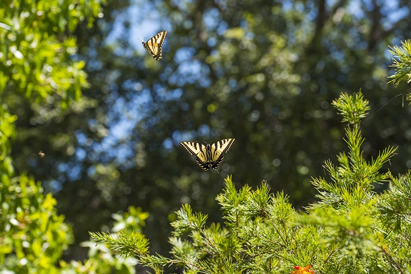 Butterflies flying in midair